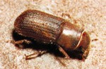 BARK-BEETLE