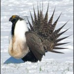 sage_grouse-300