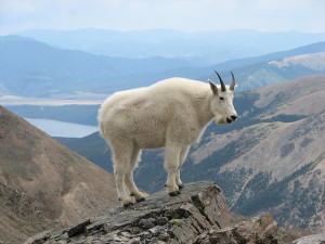 640px-Mountain_Goat_Mount_Massive